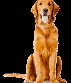 pet-sitting-golden-retriever-labrador-retriever-puppy-golden-retriever-png-clip-art